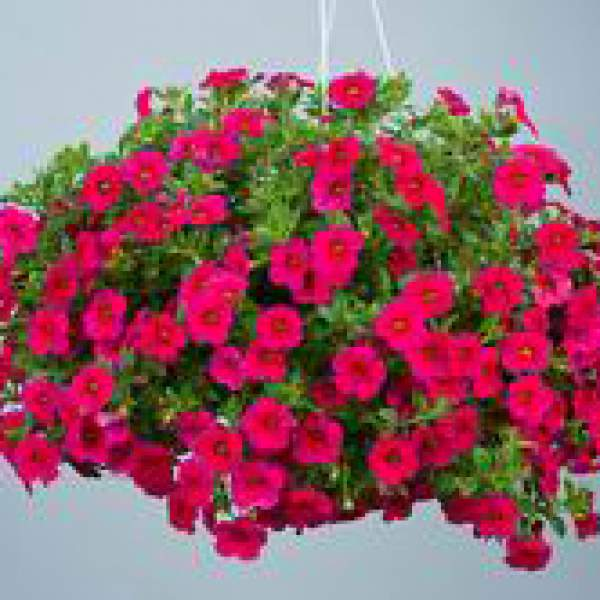 Calibrachoa Noa Red - Rooted Cutting Liner