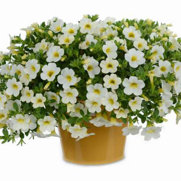 Calibrachoa Noa Snow - Rooted Cutting Liner