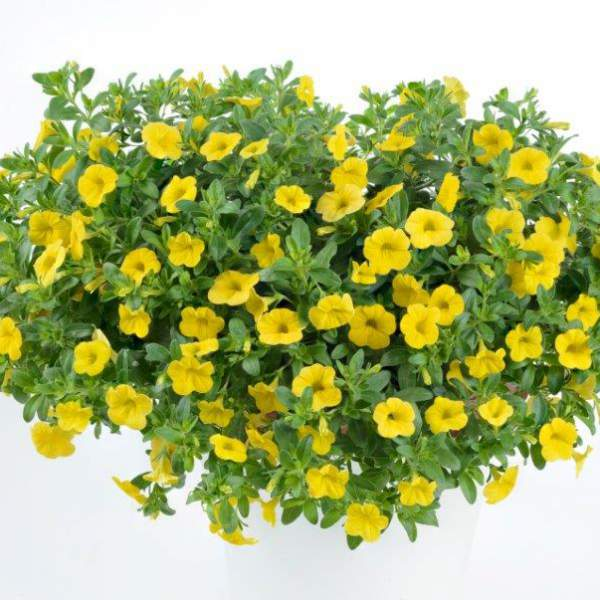 Calibrachoa Noa Sunlight