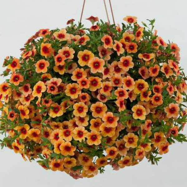 Calibrachoa Noa Sunset - Rooted Cutting Liner