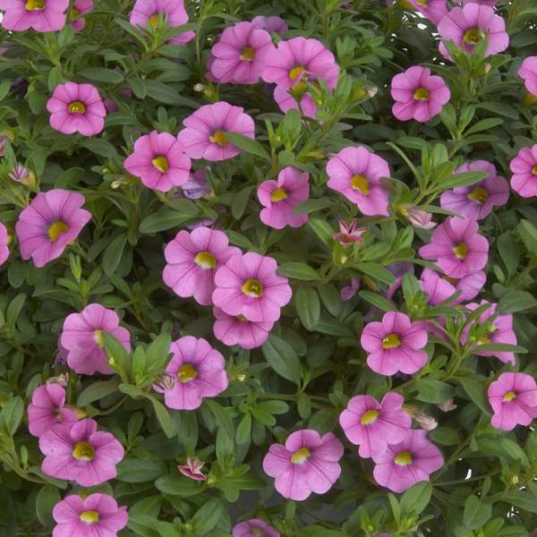 Calibrachoa Noa Ultimate Pink - Rooted Cutting Liner