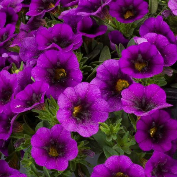 Calibrachoa Noa Ultra Purple