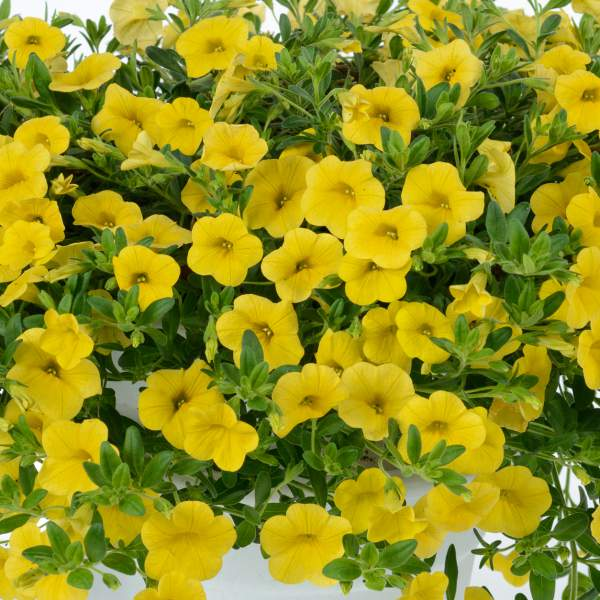 Calibrachoa Noa Yellow - Rooted Cutting Liner