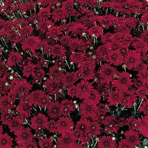 Belgian Mum Camina Red - Rooted Cutting Liner