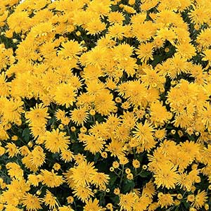 belgian mum cesaro yellow rooted cutting liner - Garden Mum