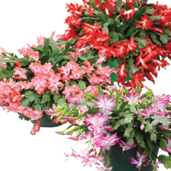 Image Of Christmas Cactus Assorted