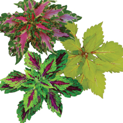 Image Of Coleus Assorted Sun Series