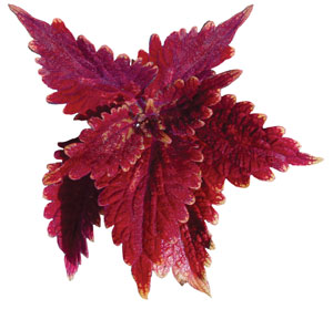 Coleus Red Planet - Unrooted Cuttings