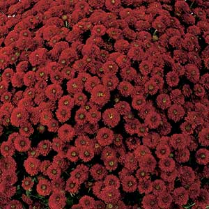 Belgian Mum Colina Red - Rooted Cutting Liner