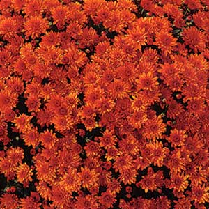 Belgian Mum Conaco Orange - Rooted Cutting Liner