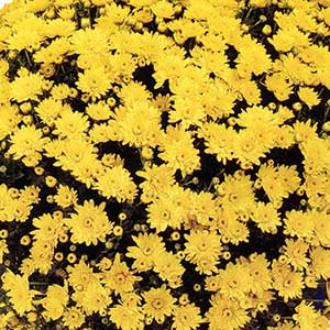 Belgian Mum Conaco Yellow - Rooted Cutting Liner