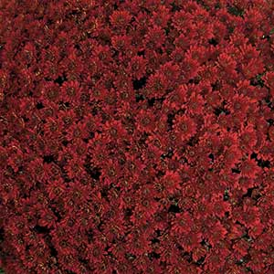 Image Of Belgian Mum Contiki Red