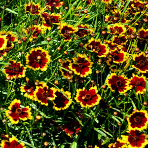Coreopsis Highland Blast - Rooted Cutting Liner