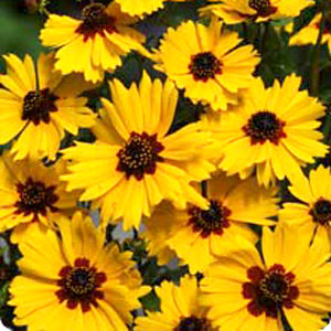 Image Of Coreopsis Solanna Golden Crown