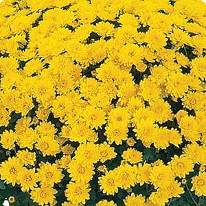 Image Of Belgian Mum Dark Veria Yellow