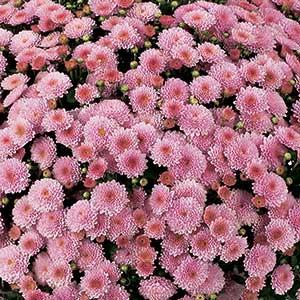 Image Of Belgian Mum Destino Pink