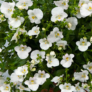 Diascia Genta Classic White - Rooted Cutting Liner