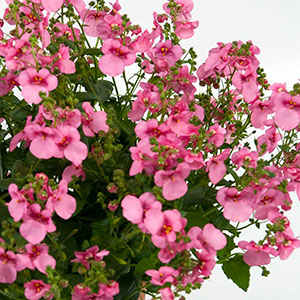 Diascia Genta Giant Pink - Rooted Cutting Liner
