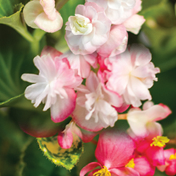 Image Of Begonia Double Assorted