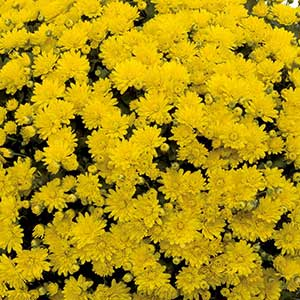 Belgian Mum Espero Yellow - Rooted Cutting Liner