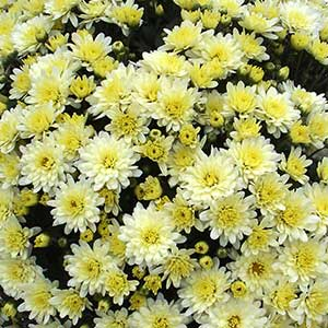 Belgian Mum Espero White - Rooted Cutting Liner