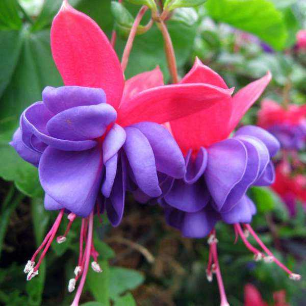 Image Of Fuchsia Blue Eyes