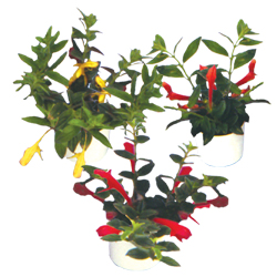 Goldfish Columnea Assorted - Rooted Cutting Liner