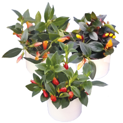 Goldfish Nematanthus Assortment - Rooted Cutting Liner