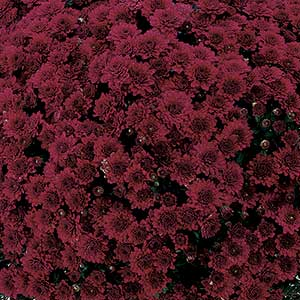 Belgian Mum Galatino Purple - Rooted Cutting Liner