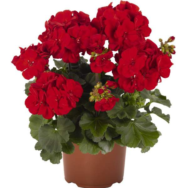 Image Of Geranium Zonal Candy Idols Bright Red