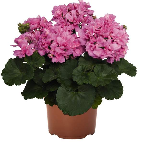 Geranium Zonal Candy Idols Pink Lovely - Rooted Cutting Liner