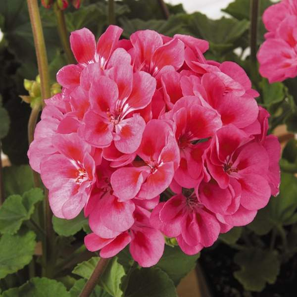 Image Of Geranium Zonal Candy Idols Rose Splash