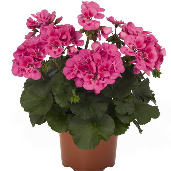 Geranium Zonal Candy Idols Rose W Eye - Rooted Cutting Liner