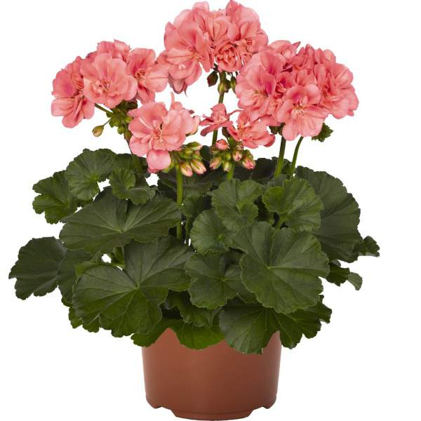Geranium Zonal Candy Idols Salmon - Rooted Cutting Liner