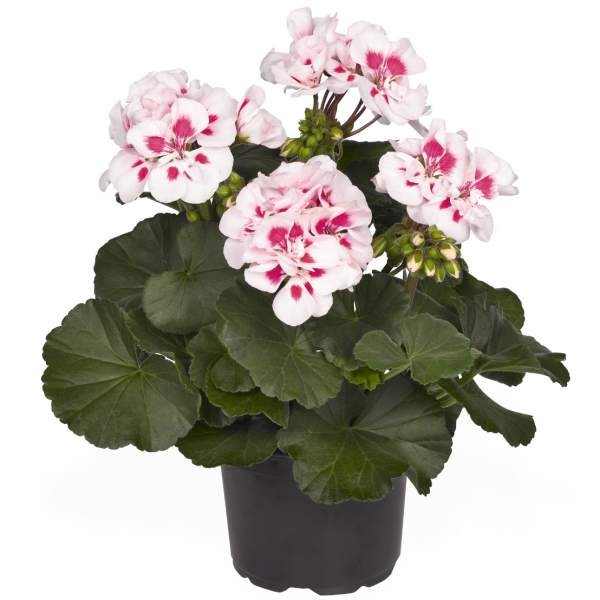 Geranium Zonal Candy Idols White Parfait - Rooted Cutting Liner