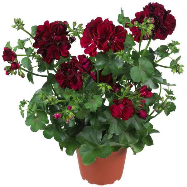 Image Of Geranium Ivy Global Burgundy