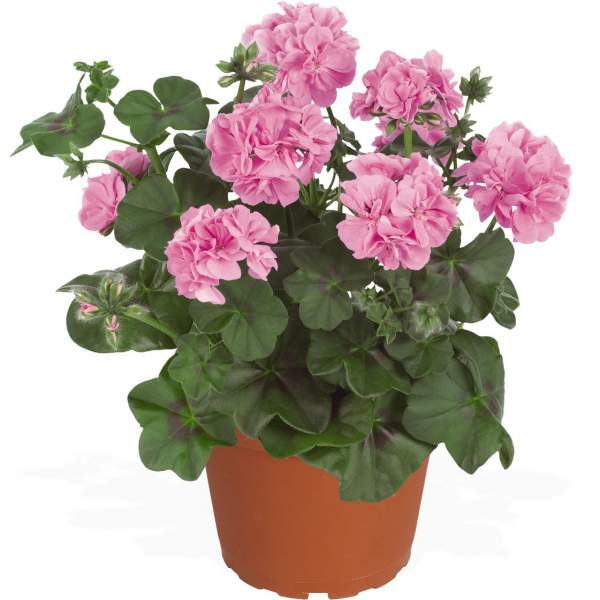 Image Of Geranium Ivy Global Lavender