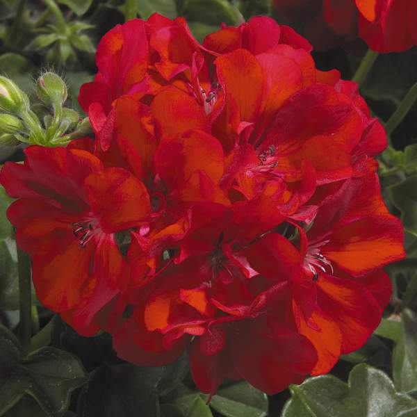 Geranium Ivy Global Red - Rooted Cutting Liner