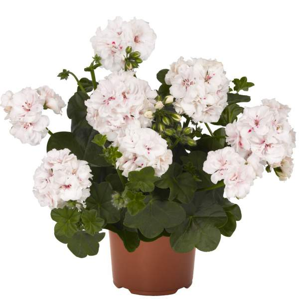 Geranium Ivy Global Royal White - Rooted Cutting Liner