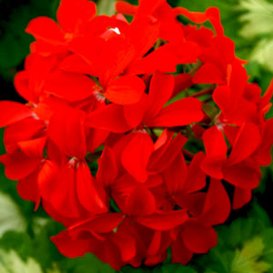 Image Of Geranium Zonal Variegated Happy Thought
