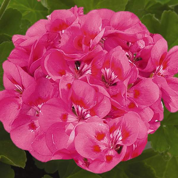 Geranium Zonal Maestro Idols Pink Parfait - Rooted Cutting Liner
