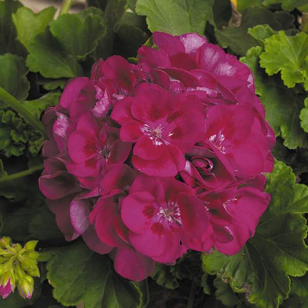 Geranium Zonal Patriot Berry Parfait - Rooted Cutting Liner