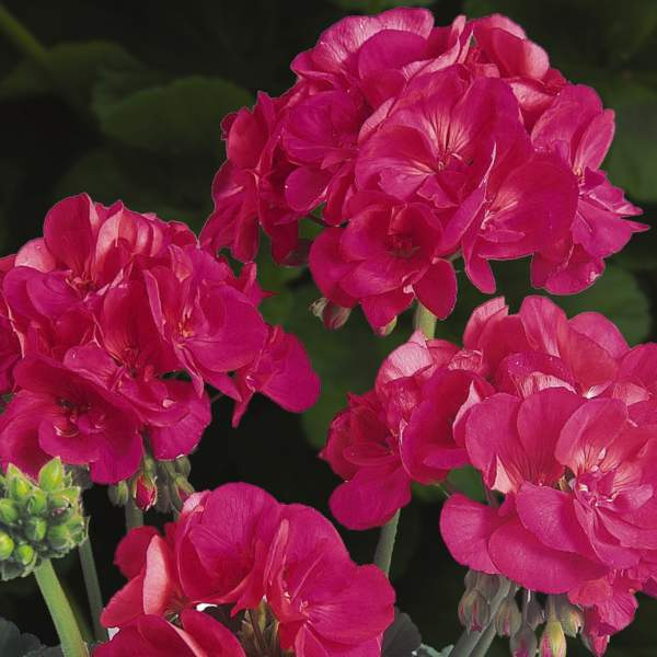 Image Of Geranium Zonal Patriot Cherry Rose Improved