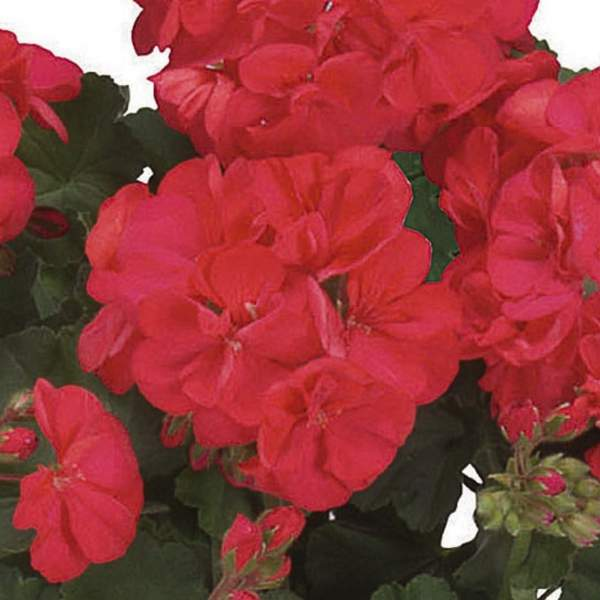 Image Of Geranium Zonal Patriot Cranberry Red