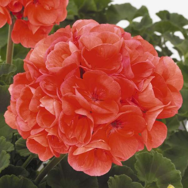 Image Of Geranium Zonal Patriot Evening Glow
