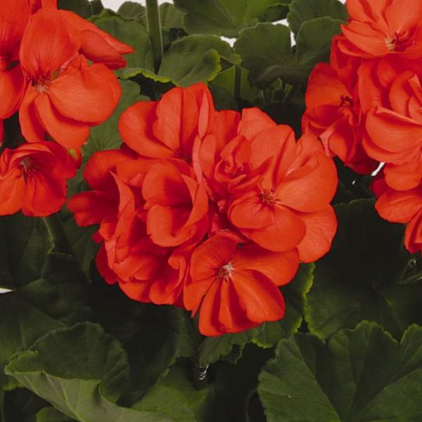Image Of Geranium Zonal Patriot Orange