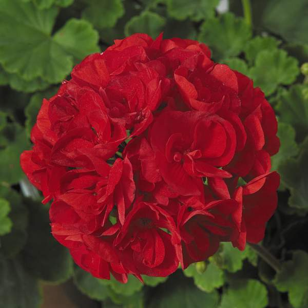 Image Of Geranium Zonal Patriot Red Improved