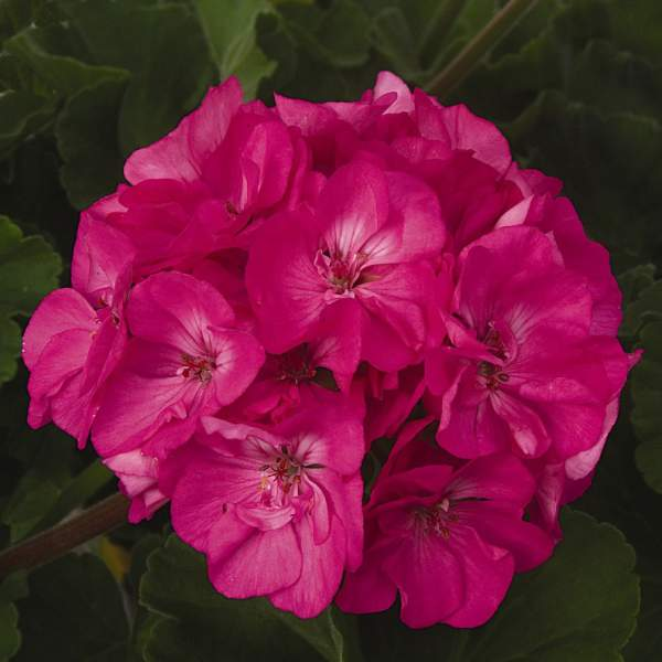 Geranium Zonal Patriot Rose Pink - Rooted Cutting Liner