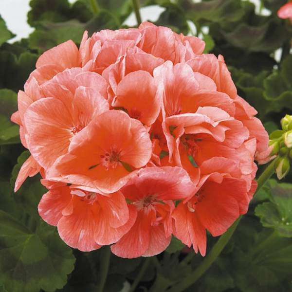 Image Of Geranium Zonal Patriot Salmon Chic