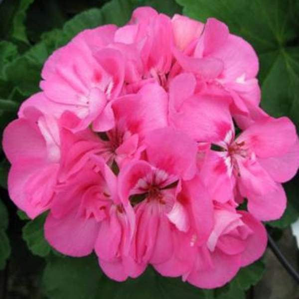 Image Of Geranium Zonal Patriot Tickled Pink